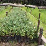 Producción de plantones de Queñua